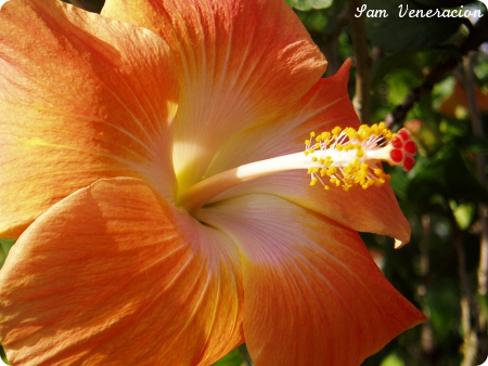 yellow orange gumamela (hibiscus) - photo by Sam Veneracion