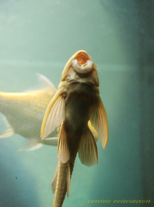 the feasibility of using pterygoplichthys disjunctivus
