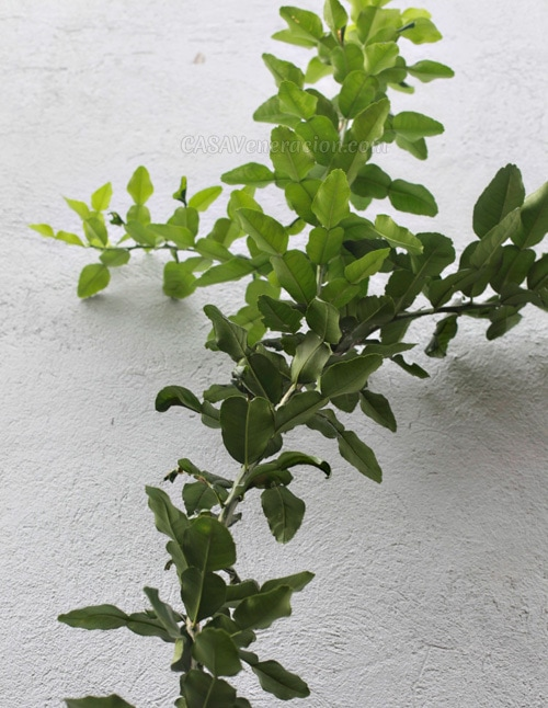 kaffir-lime-tree3