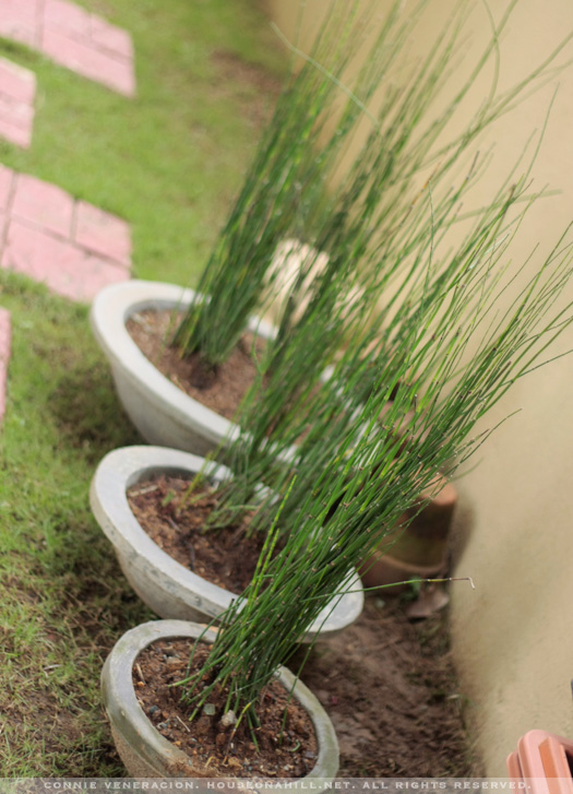 Horsetail on concete planters