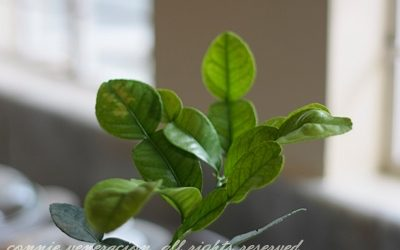 kaffir-lime-leaves1