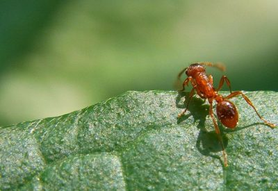 red-ant