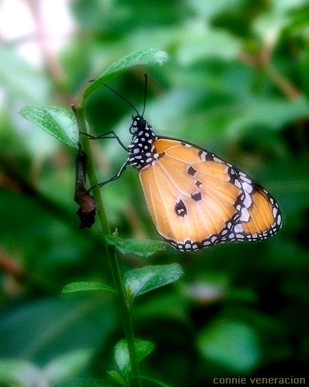 a colorful orange and black butterfly posing for the camera