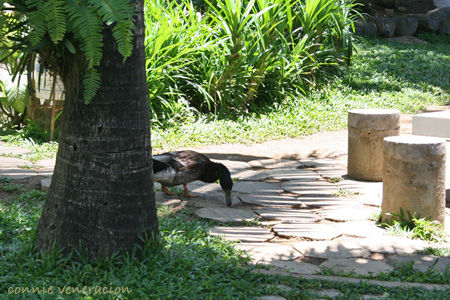 Callospa - duck feeding on the grounds
