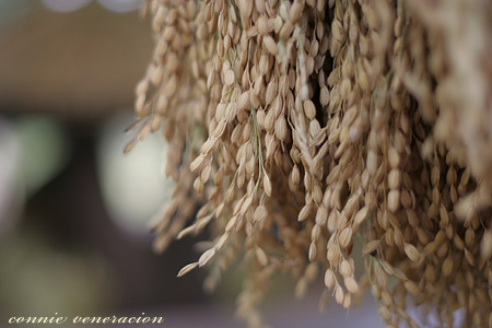 golden grains of palay