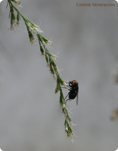 fly on a dill branch