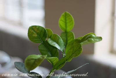 casaveneracion.com kaffir-lime-leaves