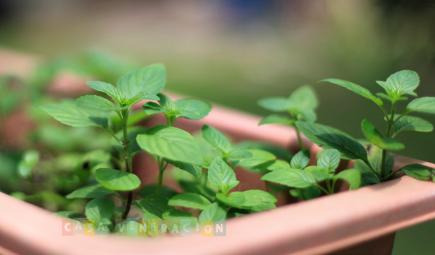 Tips for growing and propagating mint at home