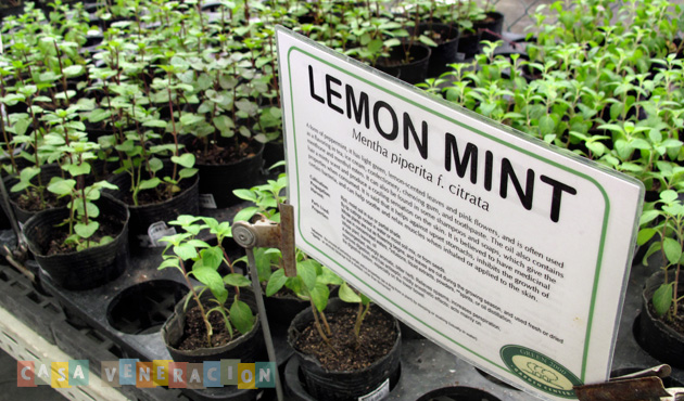 Buy potted mint and learn how to propagate them at home!