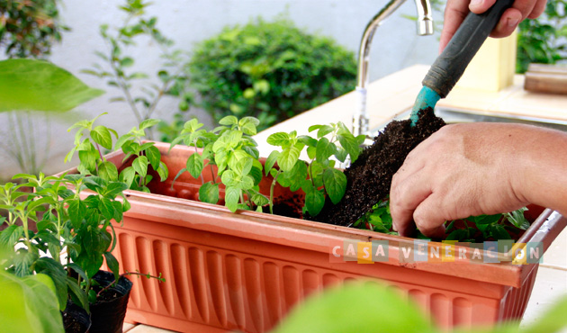 Summer activity: growing and propagating mint at home