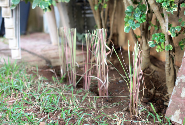 casaveneracion how to replant lemongrass