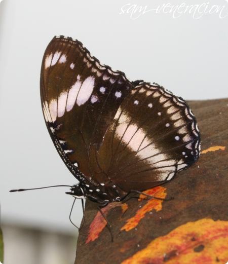 photo of a butterfly on a dry leaf taken with the Canon EOS 350D