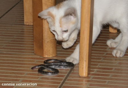 casaveneracion.com kitten with a snake in its mouth