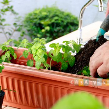 How to grow and propagate mint