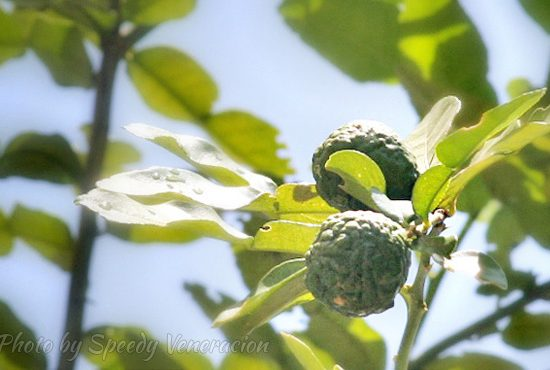 Our kaffir lime tree is bearing fruits