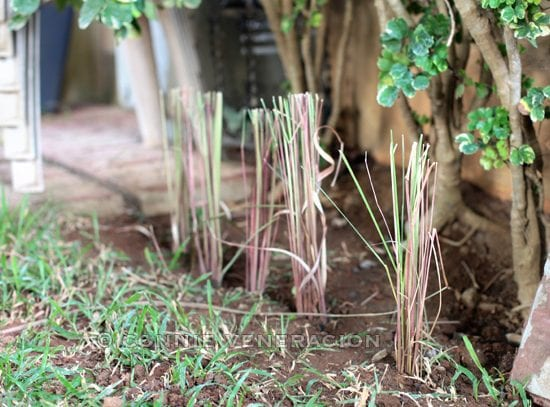 How to replant lemongrass and citronella