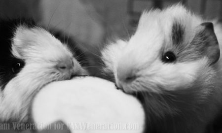 What vegetables do guinea pigs eat?