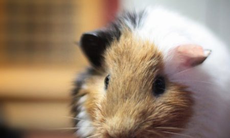 How often should pet guinea pigs be fed?