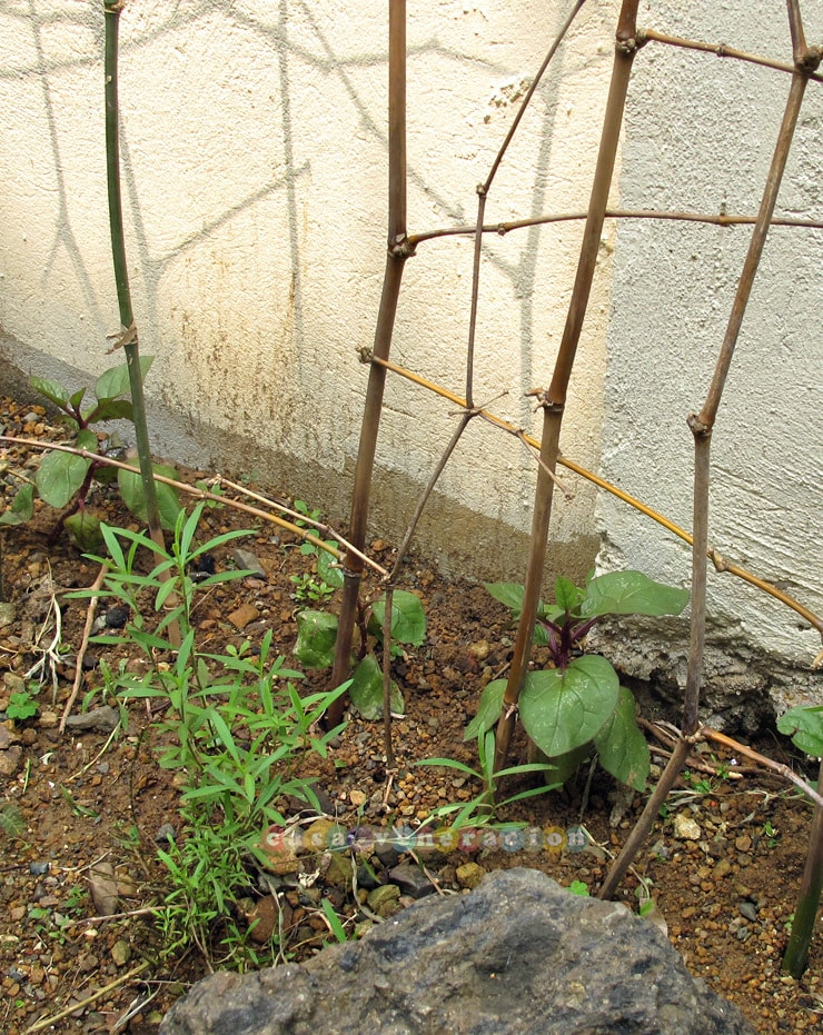 Growing alugbati (vine spinach) in the garden