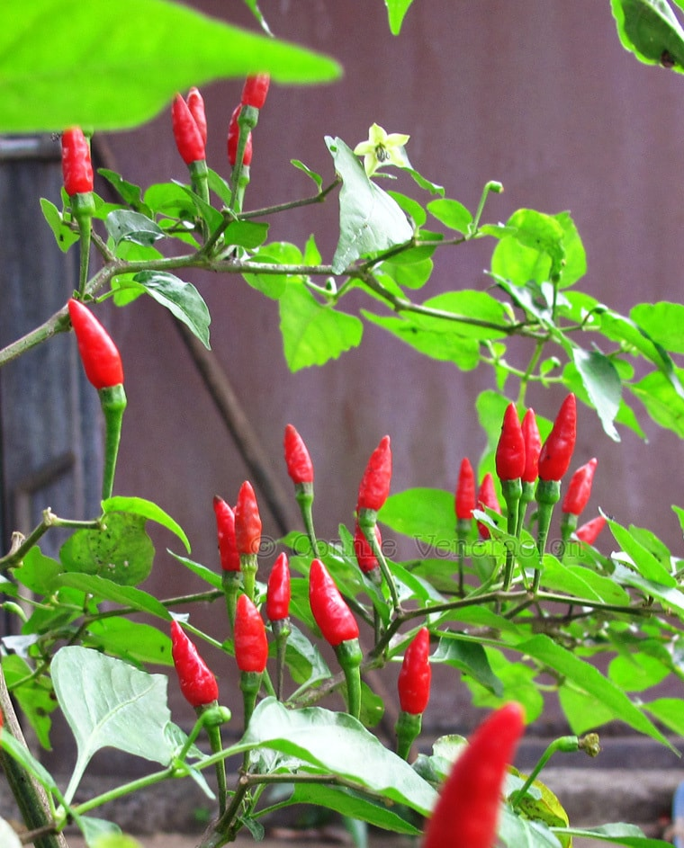 "Correction: ""siling labuyo"" is not the same as bird's eye chili 