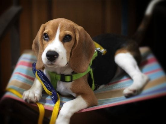 When does a beagle reach its full size?