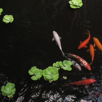 In Asian culture, the koi symbolizes prosperity and good fortune