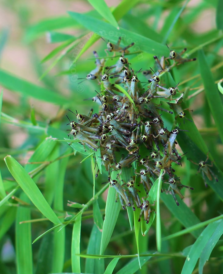 Baby Grasshoppers