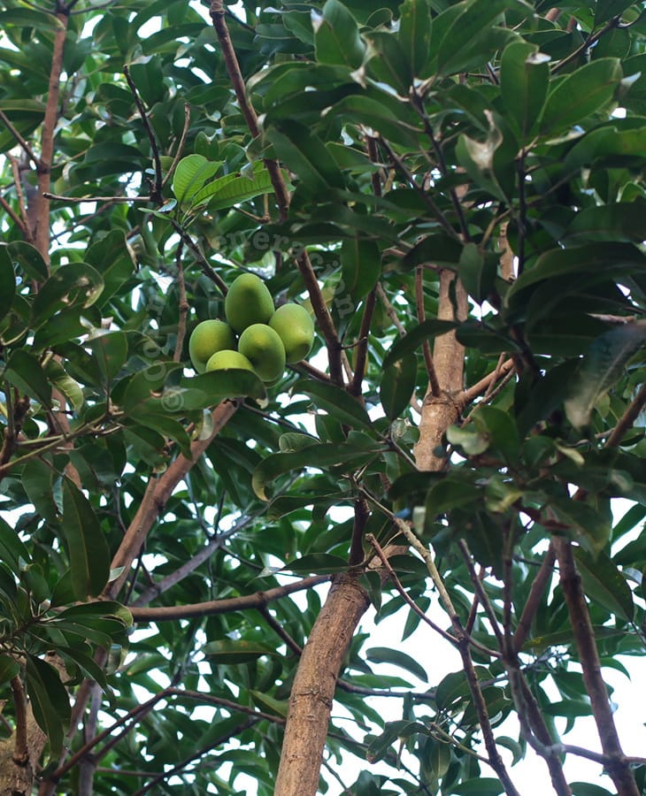Mangoes in the tree