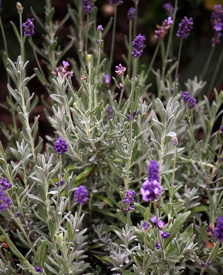 Growing Lavender At Home