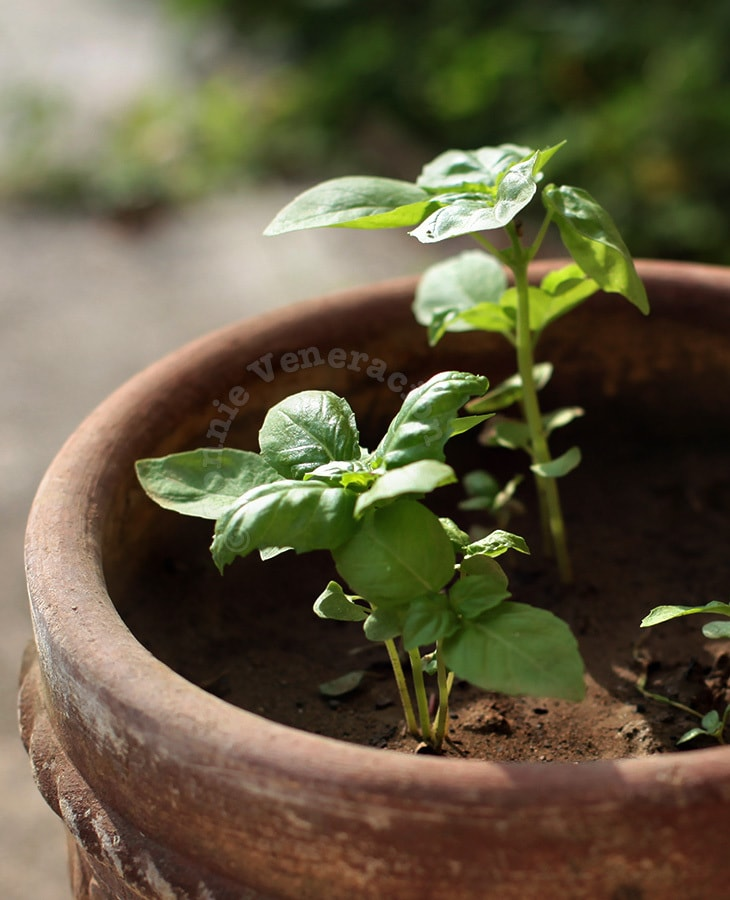 Basil: From Seeds to Seedlings