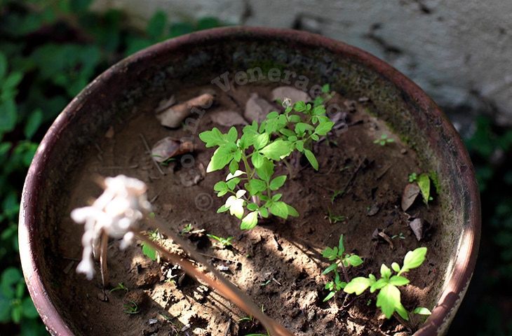 Cherry Tomatoes: From Seeds to Seedlings