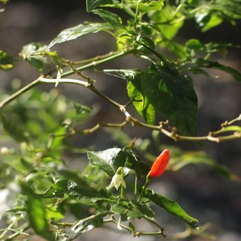 Bird's Eye Chili