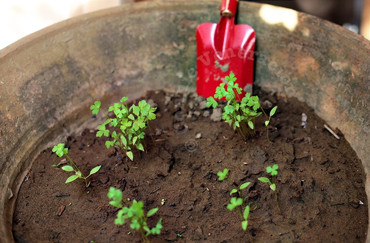 Flat-leaf Parsley: From Seeds to Seedlings