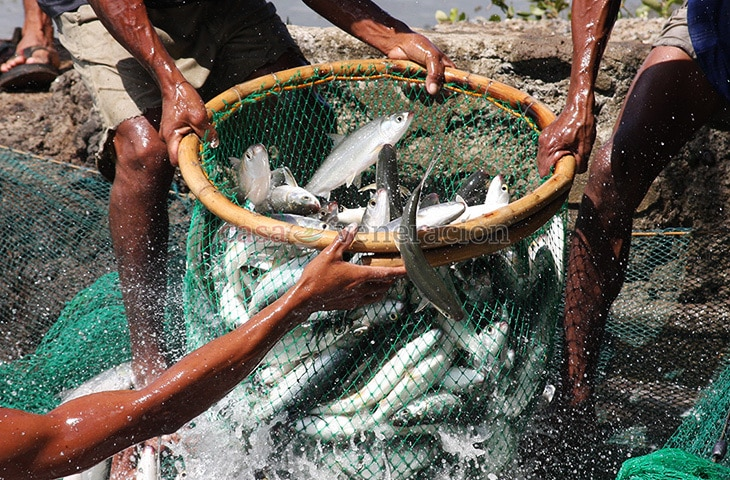 Bangus (Milkfish) is NOT the Official National Fish of the Philippines