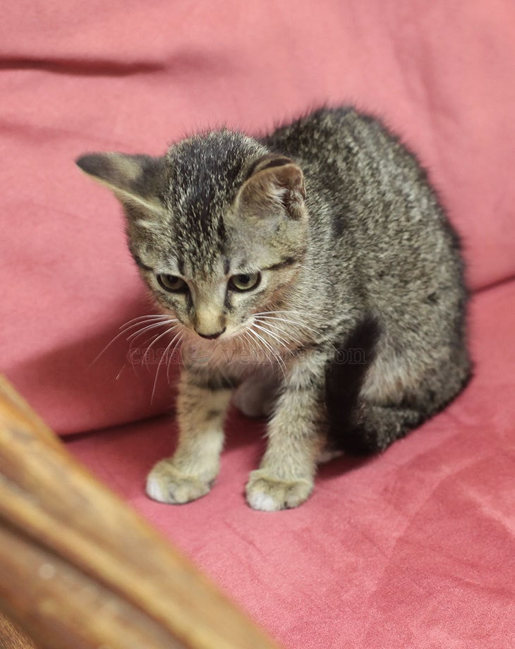 My daughters brought home an abandoned motherless kitten found underneath a parked car in the city. It hates milk but it likes burger. I have no explanation for the food preference.