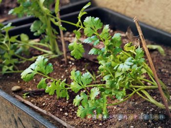 Cilantro in the garden