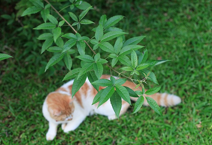 To make a brew, pick the tender leaves of the Lagundi (Vitex negundo), boil, cool and drink