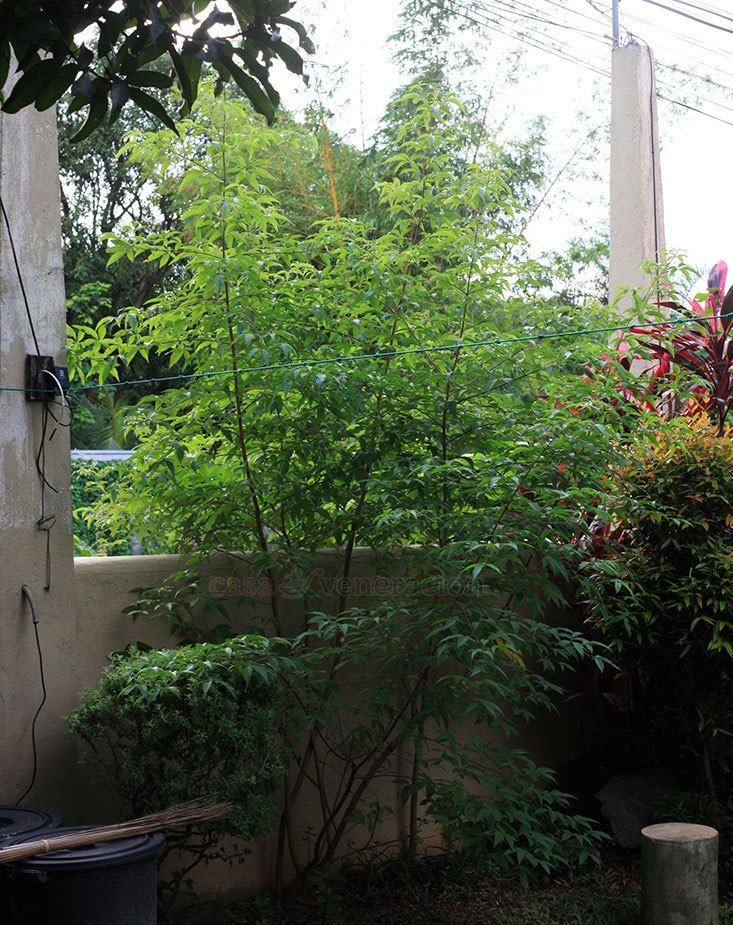 Growing a Lagundi (Vitex negundo) for a free and constant supply of leaves to make brew to treat cough