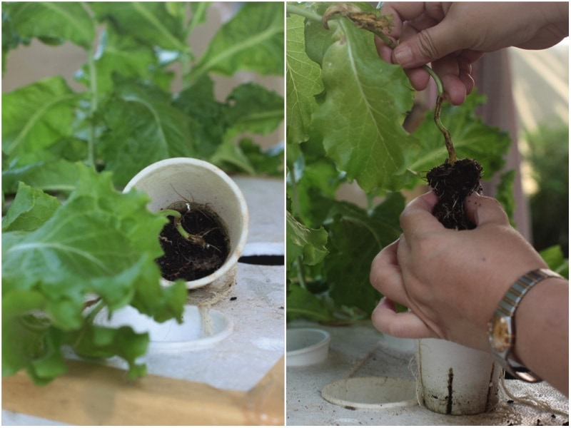 Hydroponic gardening: growing lettuce in coconut peat